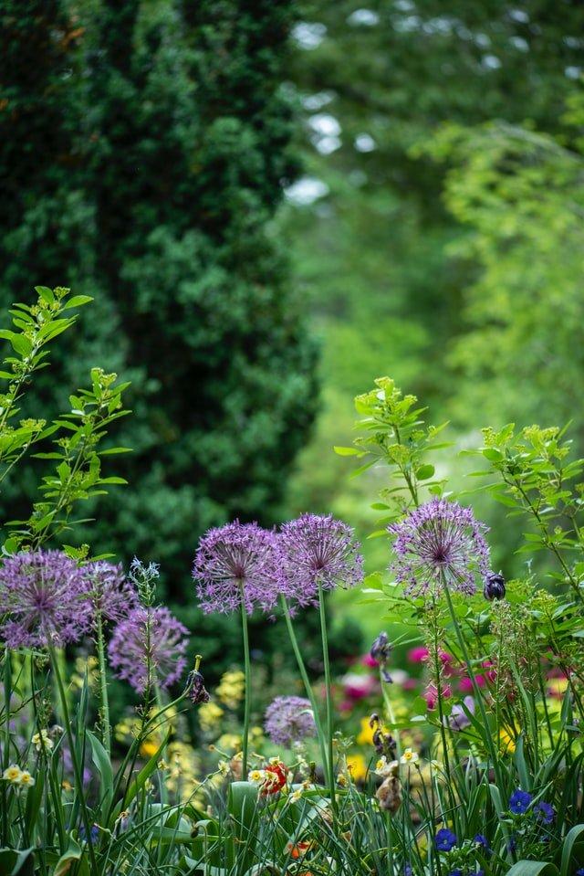 Allium flowers in a green garden